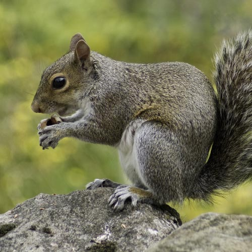 Century Squirrel